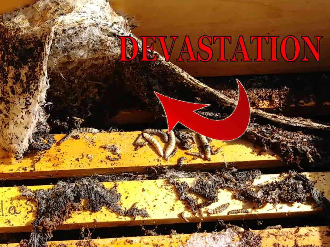 Honey Bees – Wax Moth Damage