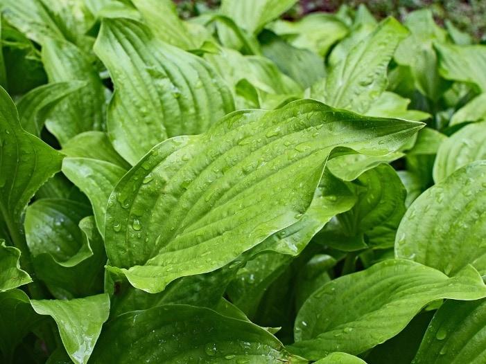 3x4 rain wet plantain