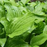 rain-wet-plantain-lily-leaves-2438603_1280